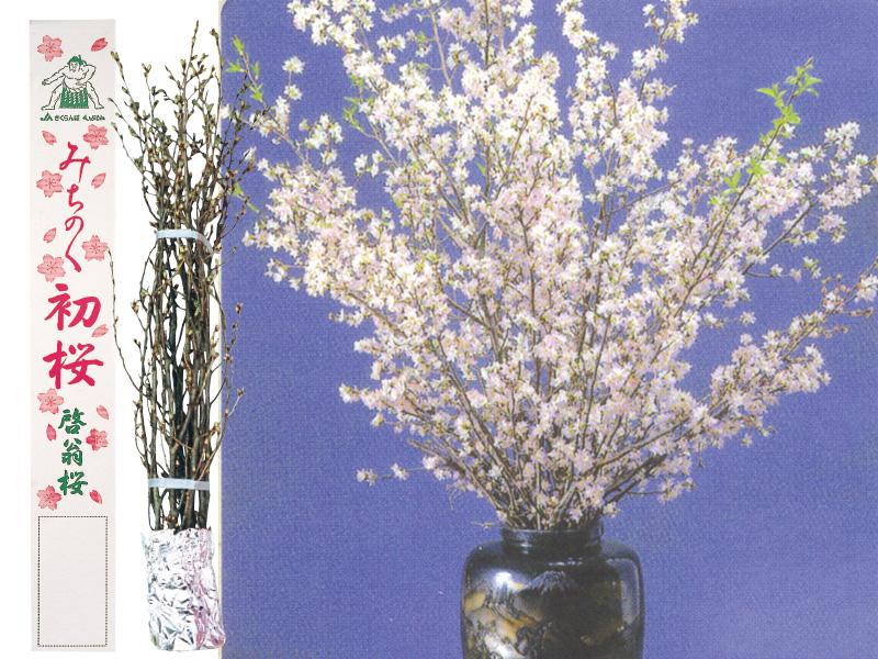 啓翁桜 2Lサイズ140cm 10本箱入【送料込】