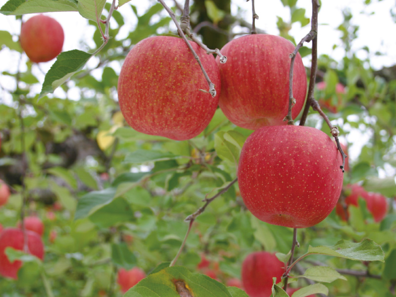 品種おまかせりんご約10kg40玉(家庭用)